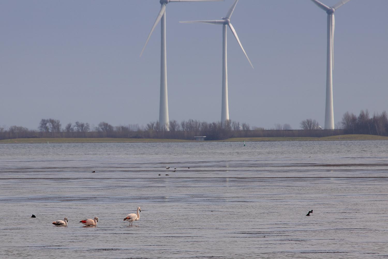 Flamingo's. Grevelingen, Battenoord